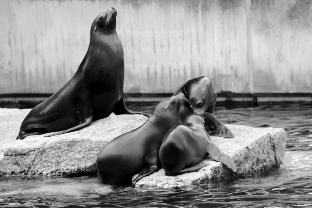 sea_lion_family_boy_crawl_zoo_acrobatic_water_creature_seal-1023937.jpg
