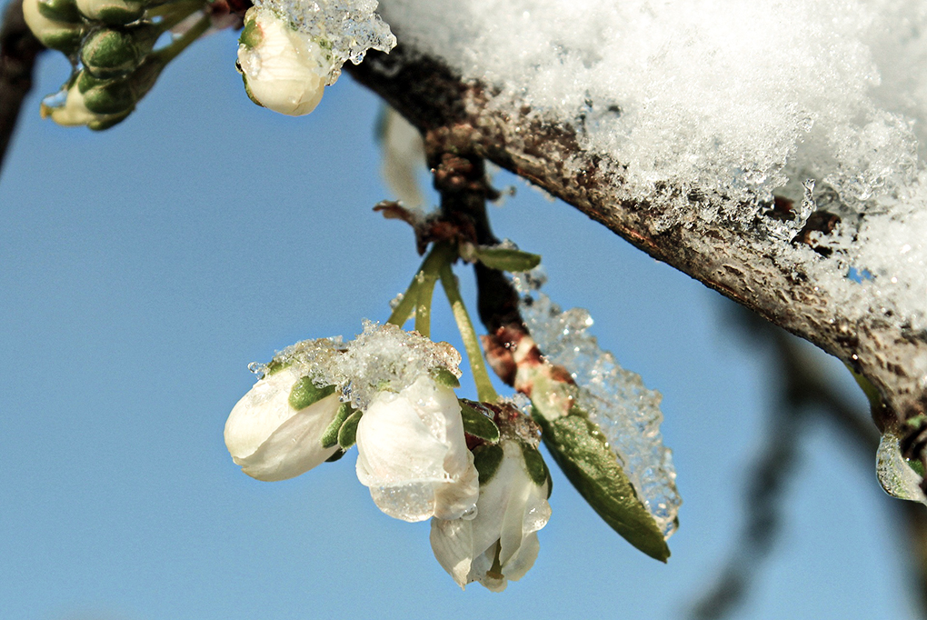 plum-tree-1353819_1920.jpg